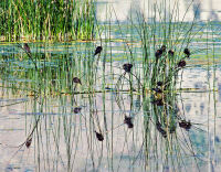 Redwings on Reeds by Rich Bergeman