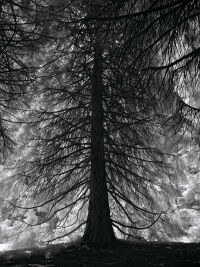Redwood at Van Dusen Park by Rich Bergeman